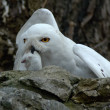 Snow owl with prey — Stock Photo
