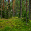 Pine forest — Stock Photo #2215380
