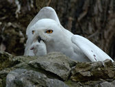 Snow owl with prey — Stock Photo