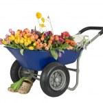 Wheelbarrow of flowers — Stock Photo #2108547