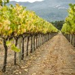 Vineyard row, napa valley,california — Stockfoto