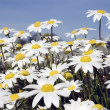 Small white daisies — Stock Photo