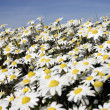 Small white daisies — Photo