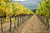 Vineyard row, napa valley,california — Stock Photo
