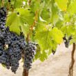 Grapes on the vine — Stockfoto