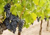 Druiven op de wijnstok — Stockfoto