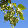 Branch of poplar with seeds and leaves — Stock Photo #2140102