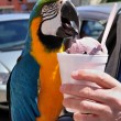 Colorful Macaw Eating Ice Cream — Stock Photo