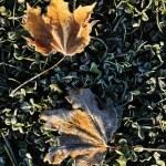 vorst op twee esdoorn bladeren — Stockfoto