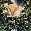 Stock Photo: Frost on Lone Maple Leaf