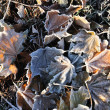 Frost on Maple Leaves — Stock Photo