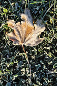 Frost on Lone Maple Leaf — Stock Photo