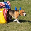 Beagle Leaving Red Agility Tunnel — Stock Photo