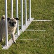 Pug weaving through weave poles — Stock Photo