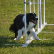 Border Collie doing weave poles - Stock Photo