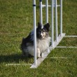 Stockfoto: Shetland Sheepdog (Sheltie) weaving