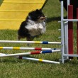 Photo: Shetland Sheepdog (Sheltie) leaping
