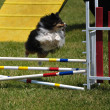 Stock Photo: Shetland Sheepdog (Sheltie) leaping