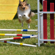 Shetland Sheepdog (Sheltie) leaping - Stock Photo