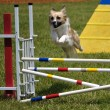 Mixed-breed dog leaping over a jump - Stock Photo