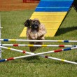 Cocker Spaniel leaping over a jump — Stock Photo