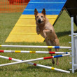 Large dog leaping over a double jump — Stock Photo