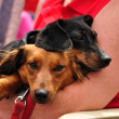 Miniature Dachshund Pair — Stock Photo