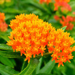Butterfly Weed Milkweed — Stock Photo