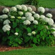 Blooming Hydrangea — Stock Photo
