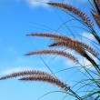 Ornamental Fountain Grass (Pennisetum) - Stock Photo