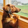 Stock Photo: Miniature Dachshund Looking out a Window