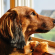 Stock Photo: Miniature Dachshund Looking out Window