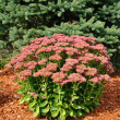 Flowering Sedum Autumn Joy — Stock Photo