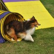 Stock Photo: Shetland Sheepdog (Sheltie)