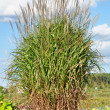 Ornamental Flame Grass Miscanthus — Stock Photo