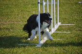 Border Collie doing weave poles — Stock Photo