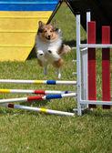 Shetland sheepdog (шелти) прыгали — Стоковое фото