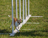 Chihuahua doing weave poles — Stock Photo