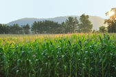 Early Morning Light on Corn Field — Stock Photo