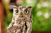 Female Western Screech Owl — Stock Photo