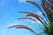 Ornamental Fountain Grass (Pennisetum) — Stock Photo