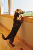Miniature Dachshund Looking out a Window — Stock Photo