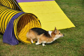 Pembroke Welsh Corgi — Stock Photo