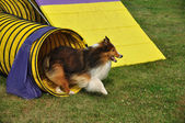 Shetland Sheepdog (Sheltie) — Photo