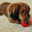 Dachshund playing with red ball — Stock Photo #2294410