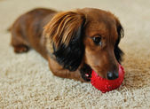 Dachshund playing with red ball — Stock Photo