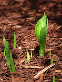 Hosta Sprouts emerging in the Spring — Stock Photo