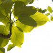 Young leaves in forest 6 — Stock Photo