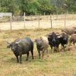 Herd of Asian buffaloes — Stock Photo
