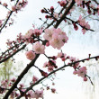 Stock Photo: Branch of sakura